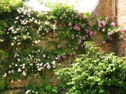 Mauer mit Rosen.jpg