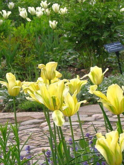 Gartentulpen